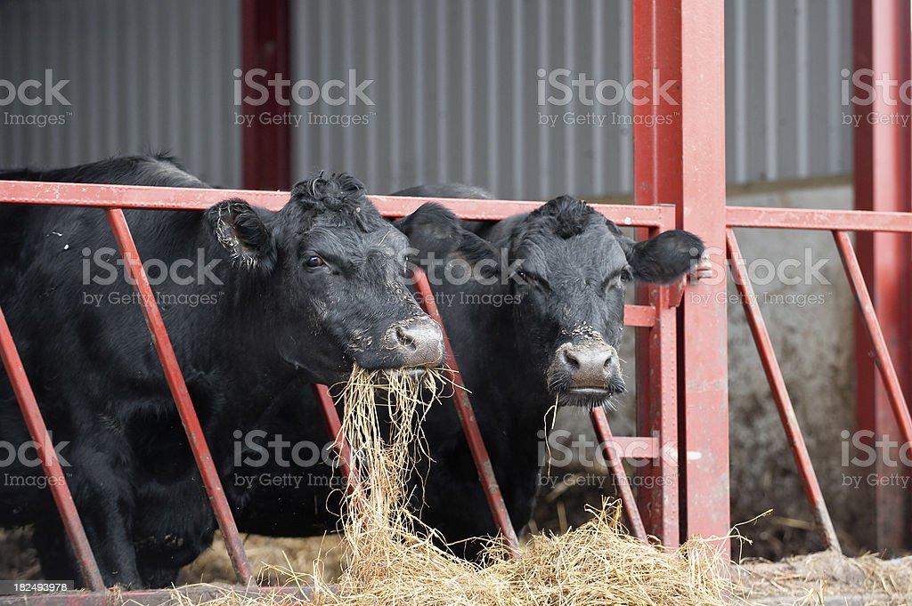 feeding time on the farm royalty-free stock photo