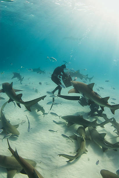 Feeding Time A freediver reaches into the bait box to get a snack for a pack of circling Lemon Sharks (Negaprion brevirostris) feeding frenzy stock pictures, royalty-free photos & images