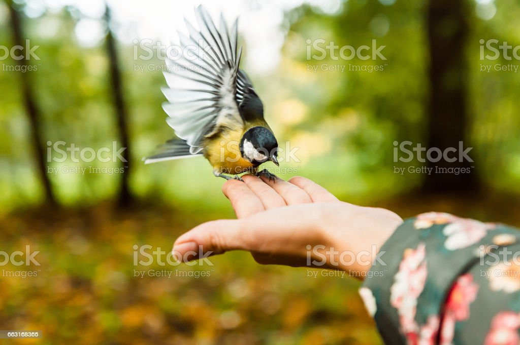 feeding titmouse in the park stock photo