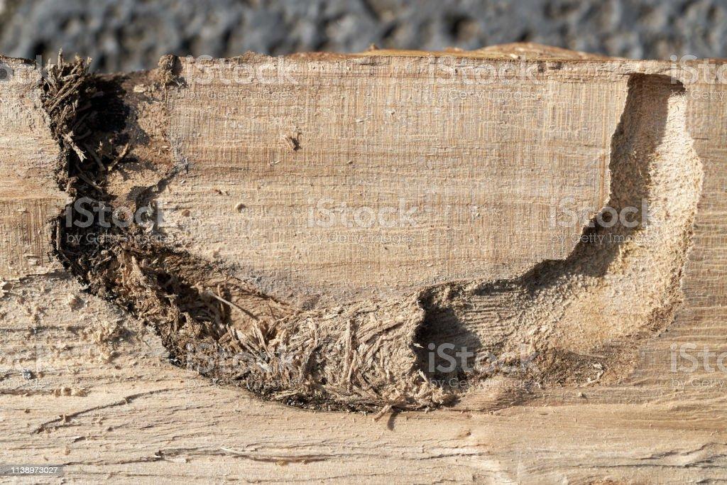 Fütterungstunnel eines asiatischen Langhornkäfer Anoplophora glabripennis – Foto