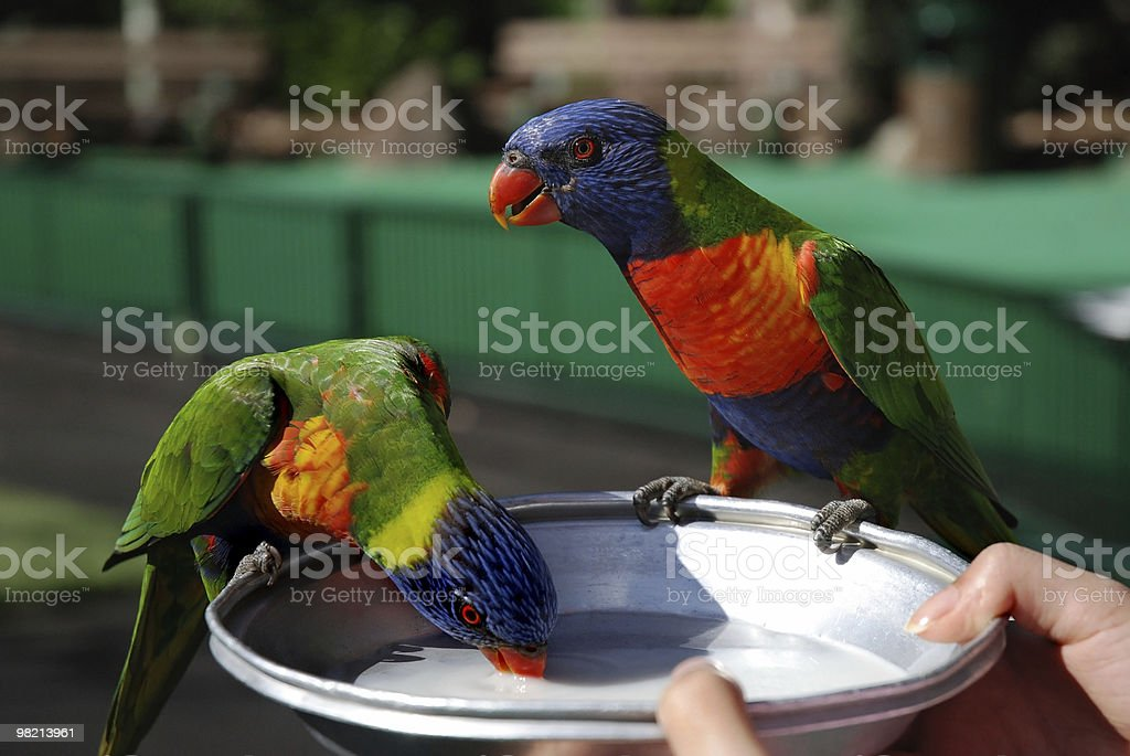 Feeding two colorful rainbow lorikeets royalty-free stock photo