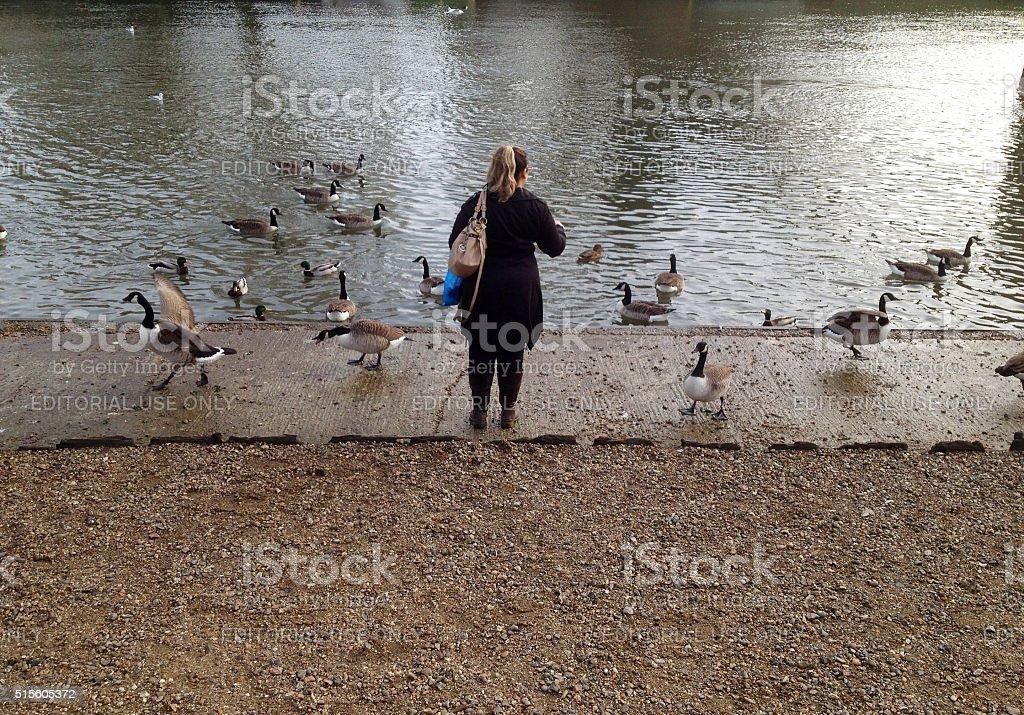 Feeding waterbirds at River Thames stock photo