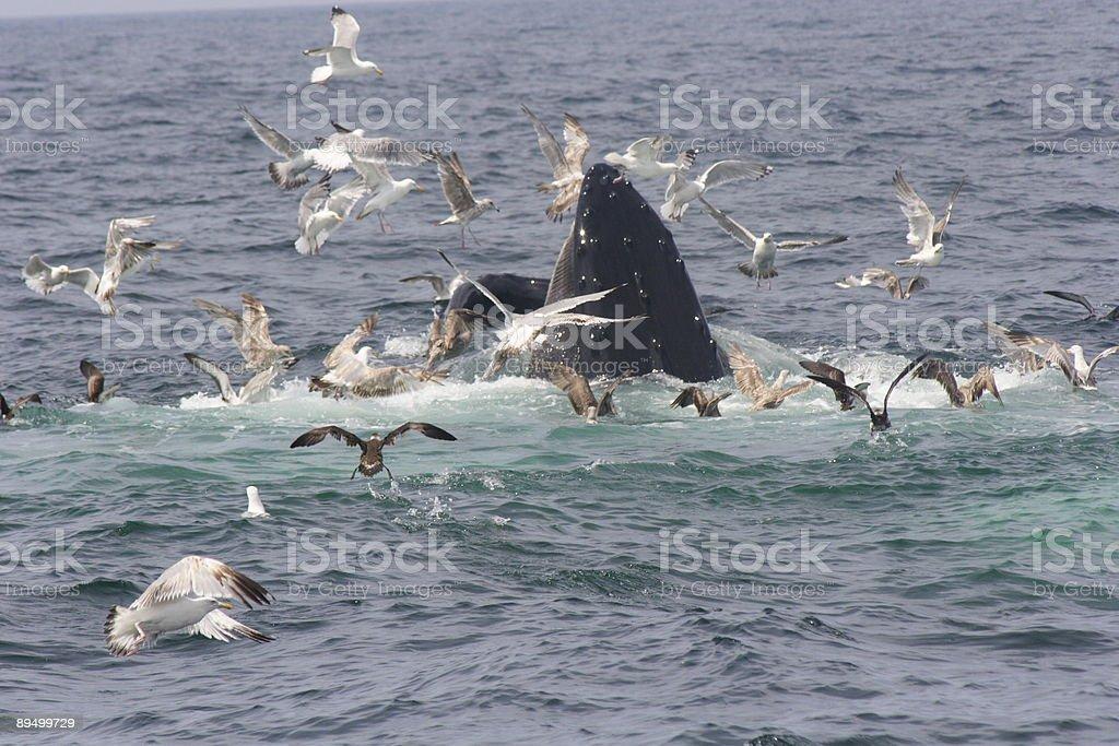 Nutrizione di balena vicino a Cape Cod foto stock royalty-free