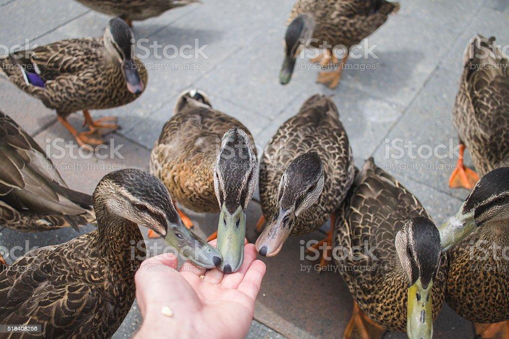 Feeding Wild Ducks With Grain stock photo