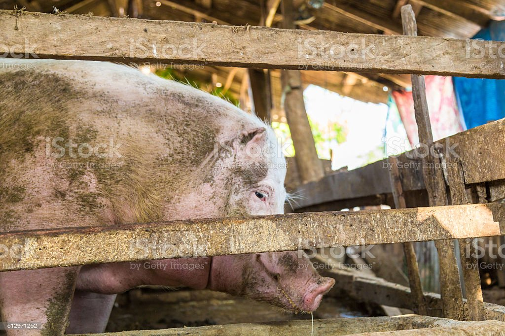 Feeds of pig in traditional farm stock photo