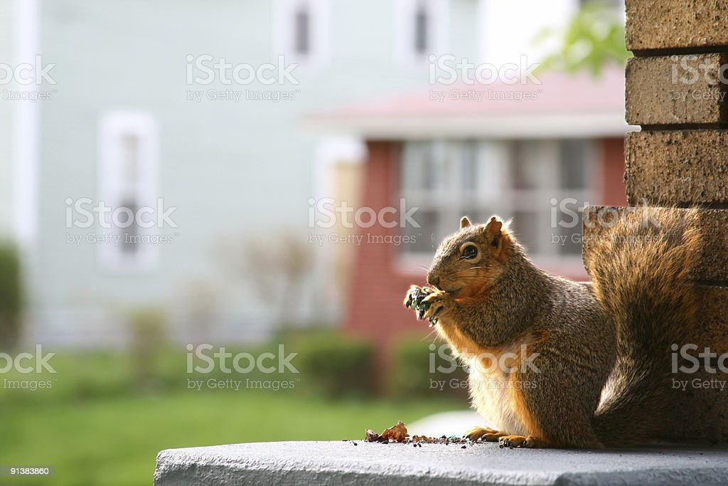 Feeling squirrelly: Squirrel Nibbling on an urban front porch stock photo