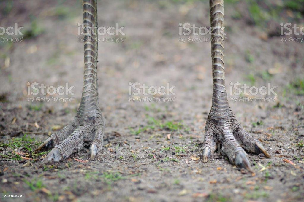 Füße eines Straußes – Foto