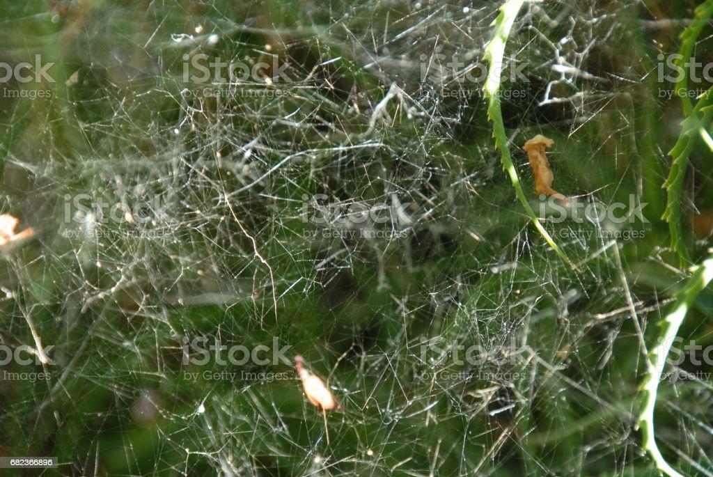 Feigenblatt mit Spinnennetz am Feigenbaum - Spanien ロイヤリティフリーストックフォト