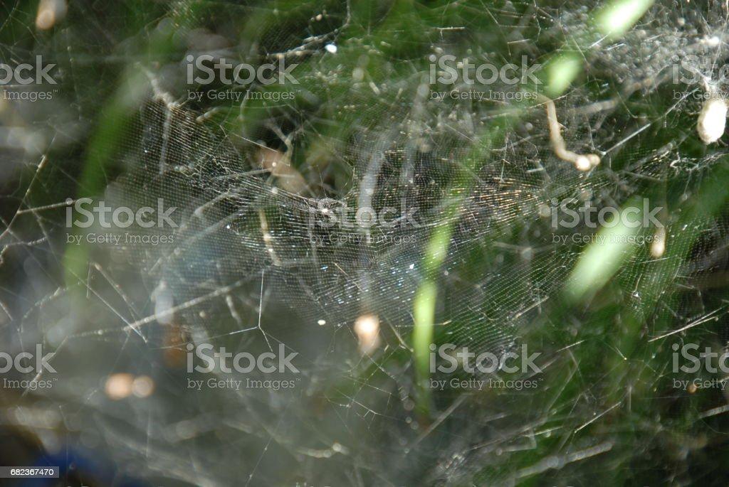 Feigenblatt mit Spinnennetz am Feigenbaum - Spanien royalty free stockfoto