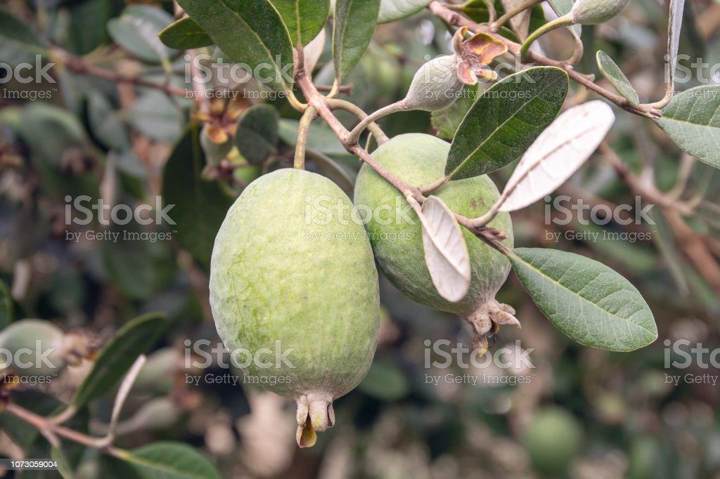 Fruta De Feijoa En El Crecimiento Del árbol Acca Sellowiana Frutas