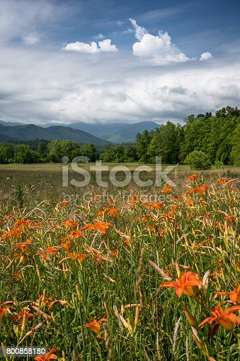 A large field of orange day lilies bloom with mountain range in the background