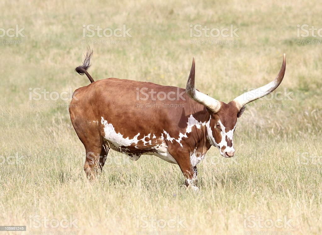 Feisty Longhorn Cow royalty-free stock photo