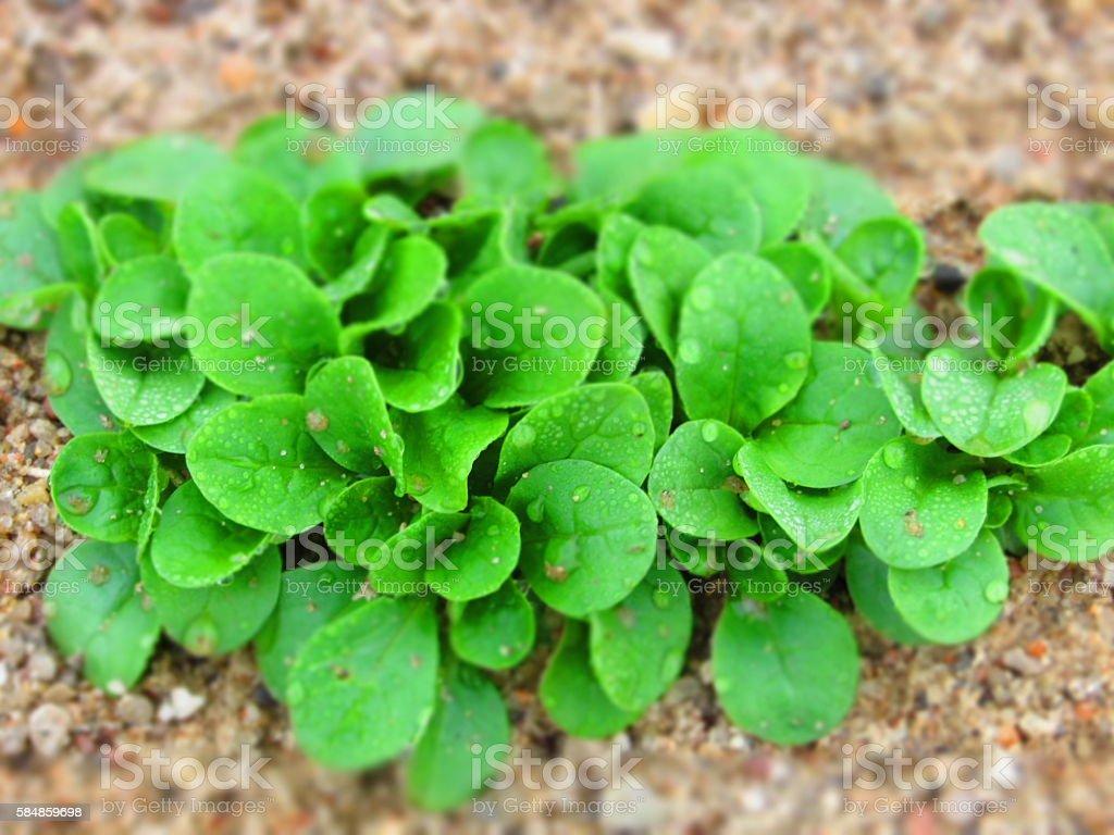 Feld salad (cornsalad, lamb's-lettuce) growing field fresh green salad stock photo