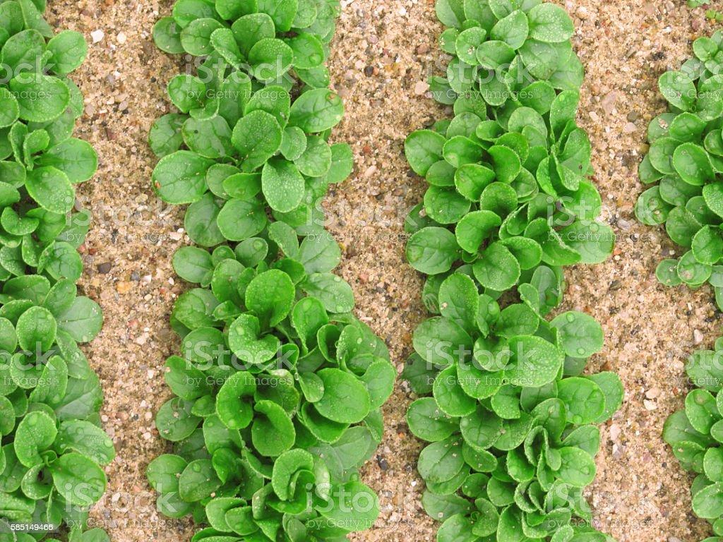 Feld salad (cornsalad, lamb's-lettuce) growing field stock photo