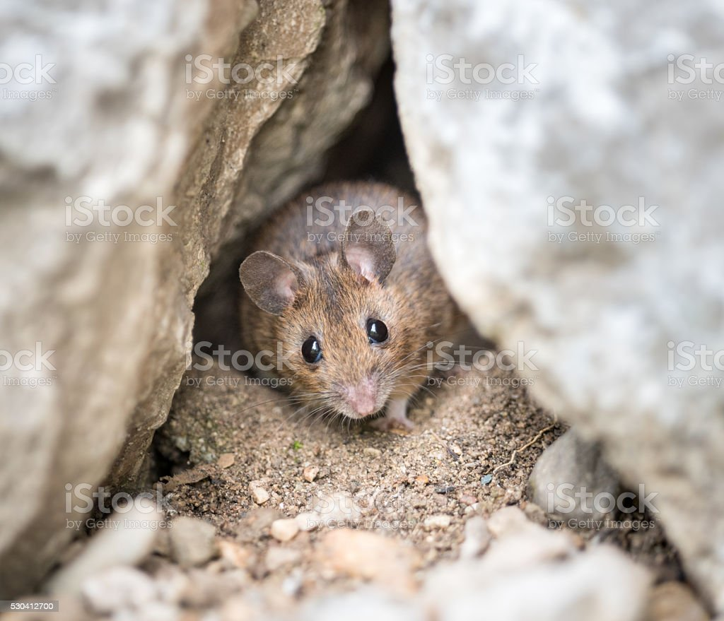 Feldmaus, Field Mouse (Microtus arvalis) peeking out its Den stock photo