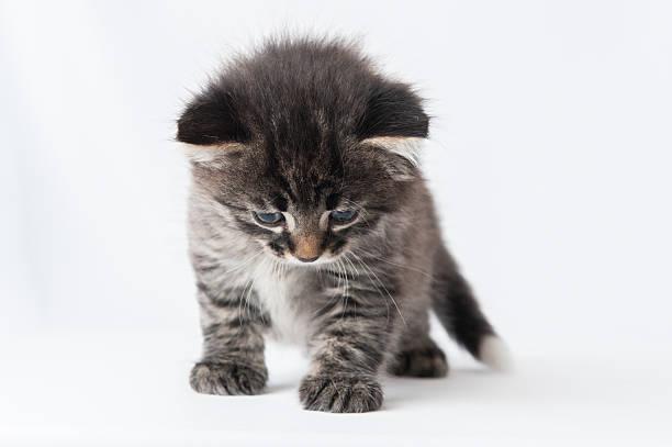 Katzenartige Kätzchen auf weißem Hintergrund – Foto