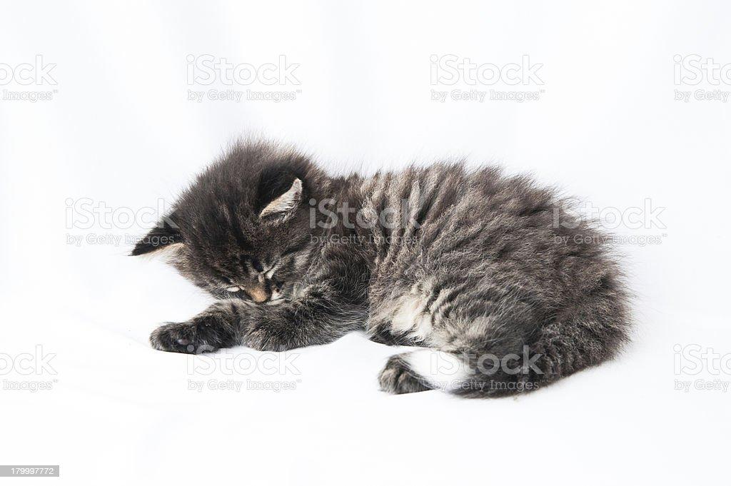 고양잇과 고양이 새끼 흰색 배경의 royalty-free 스톡 사진