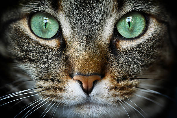 feline - animal head stock pictures, royalty-free photos & images