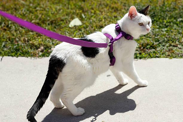 Feline wearing a harness picture id506695611?b=1&k=6&m=506695611&s=612x612&w=0&h=jukvej3qlfpnrcqdvrlkp9ze1nqzocdkzblek8h8pgu=