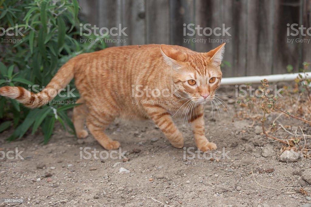 Feline with sneaky posture stock photo