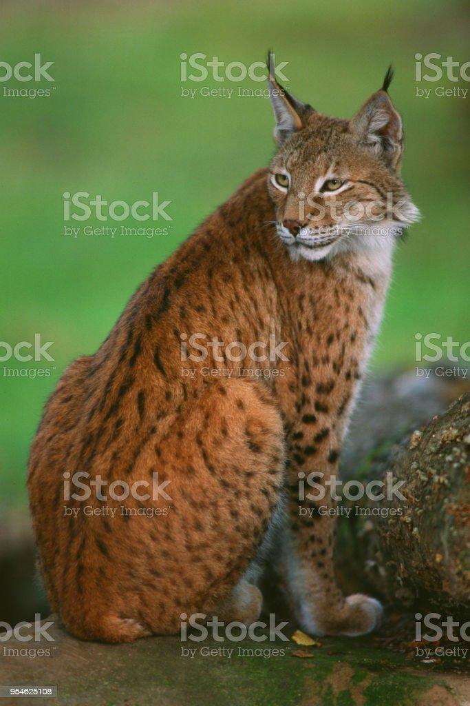 Felis lynx - Lince - foto stock