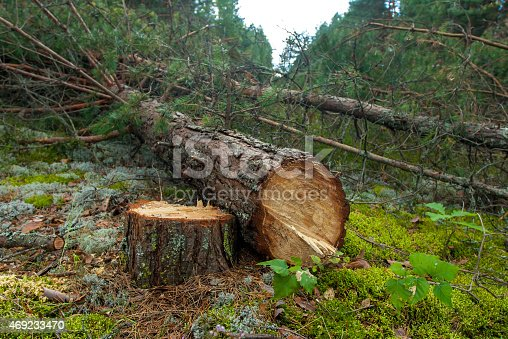 istock Felled a pine tree in the forest 469233470