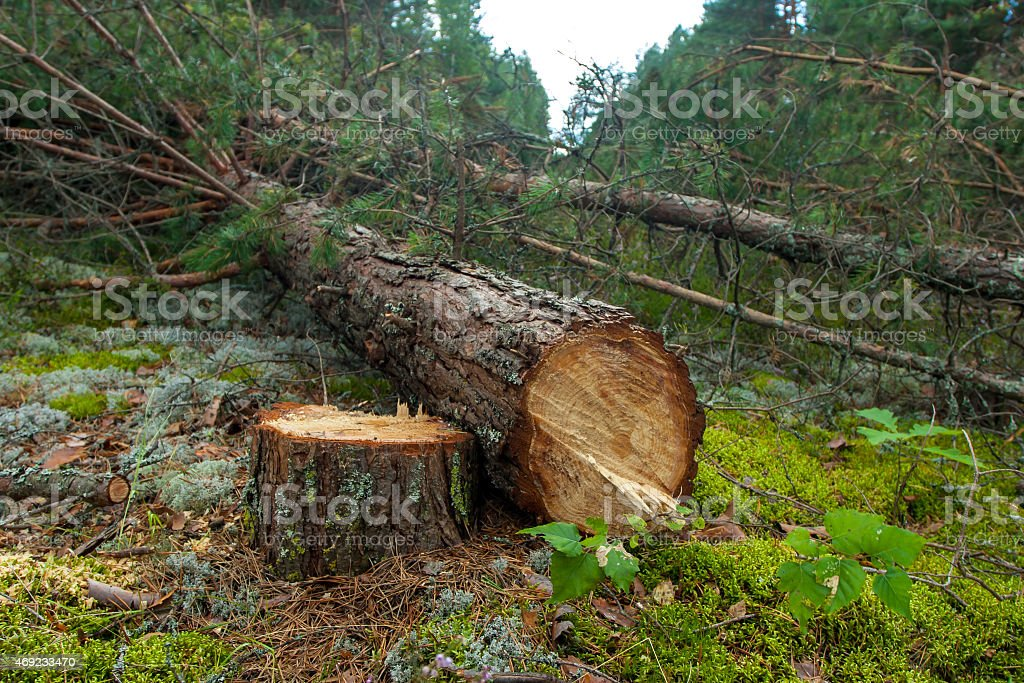 Felled un árbol en el bosque de pinos - foto de stock