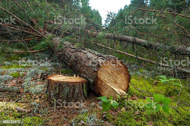 Photo of Felled a pine tree in the forest
