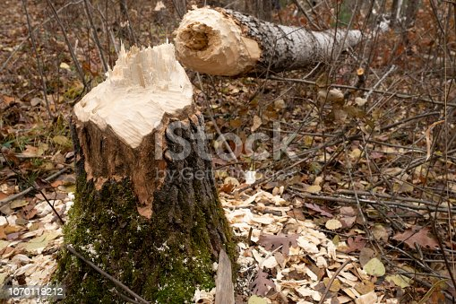 Chewed and felled by a beaver a large Aspen tree lays in the woods.