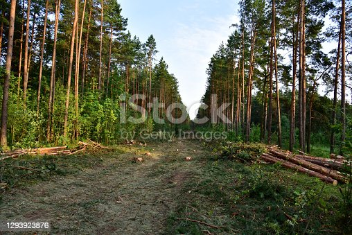Felled spruces trees in forest. Deforestation and Illegal Logging, international trade in illegal timber. Stump of the felled living tree in the forest. Stacks of cut wood. Trees destruction