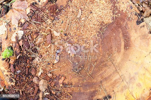 felled tree trunk, which are sawdust, dried leaves. Photographed close-up.