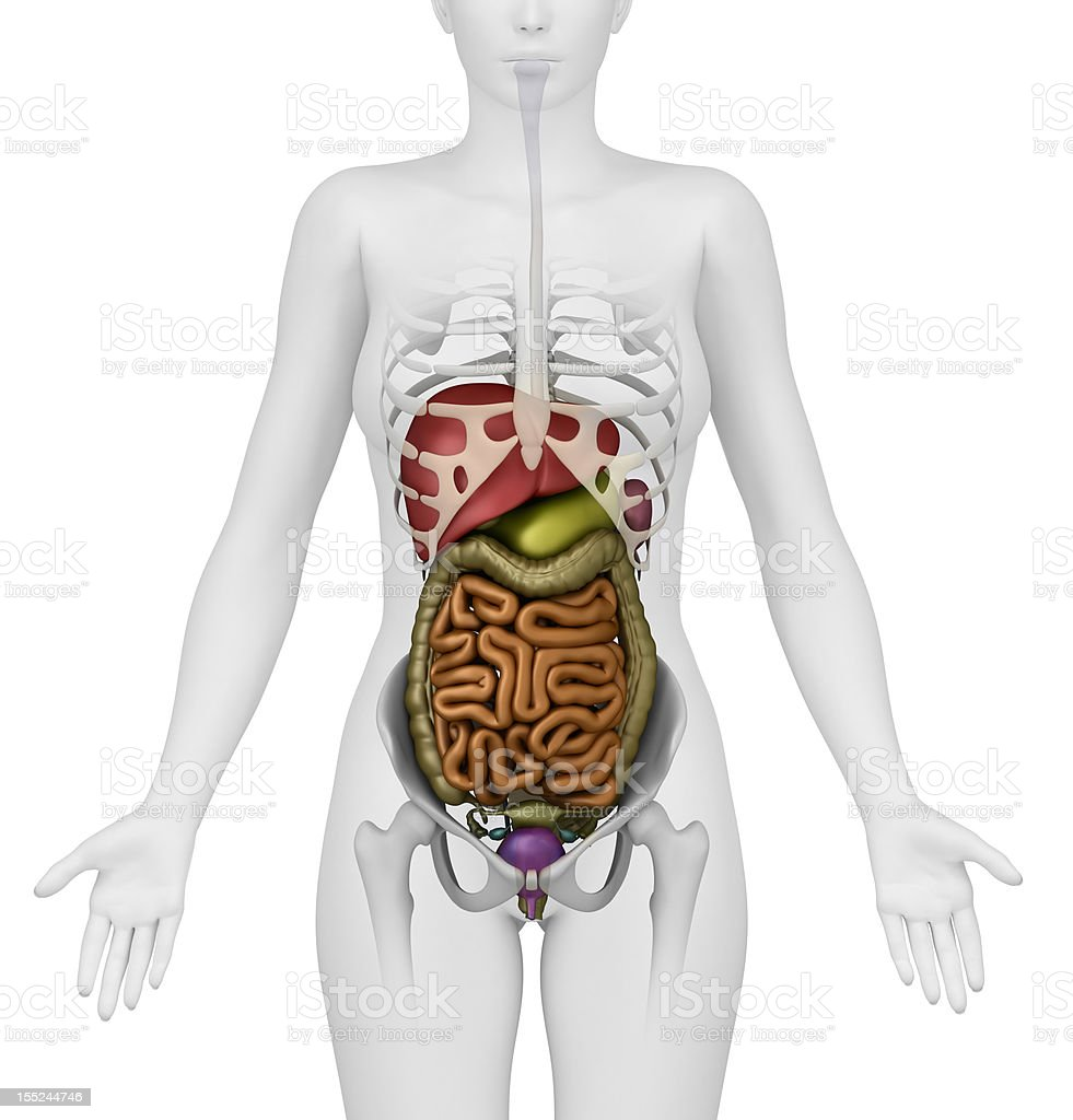 Female Abdominal Organs Anterior View Stock Photo & More Pictures of ...