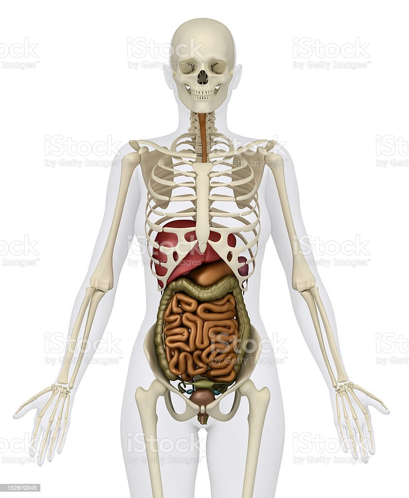 Female Abdominal Organs With Skeleton Anterior View Stock Photo