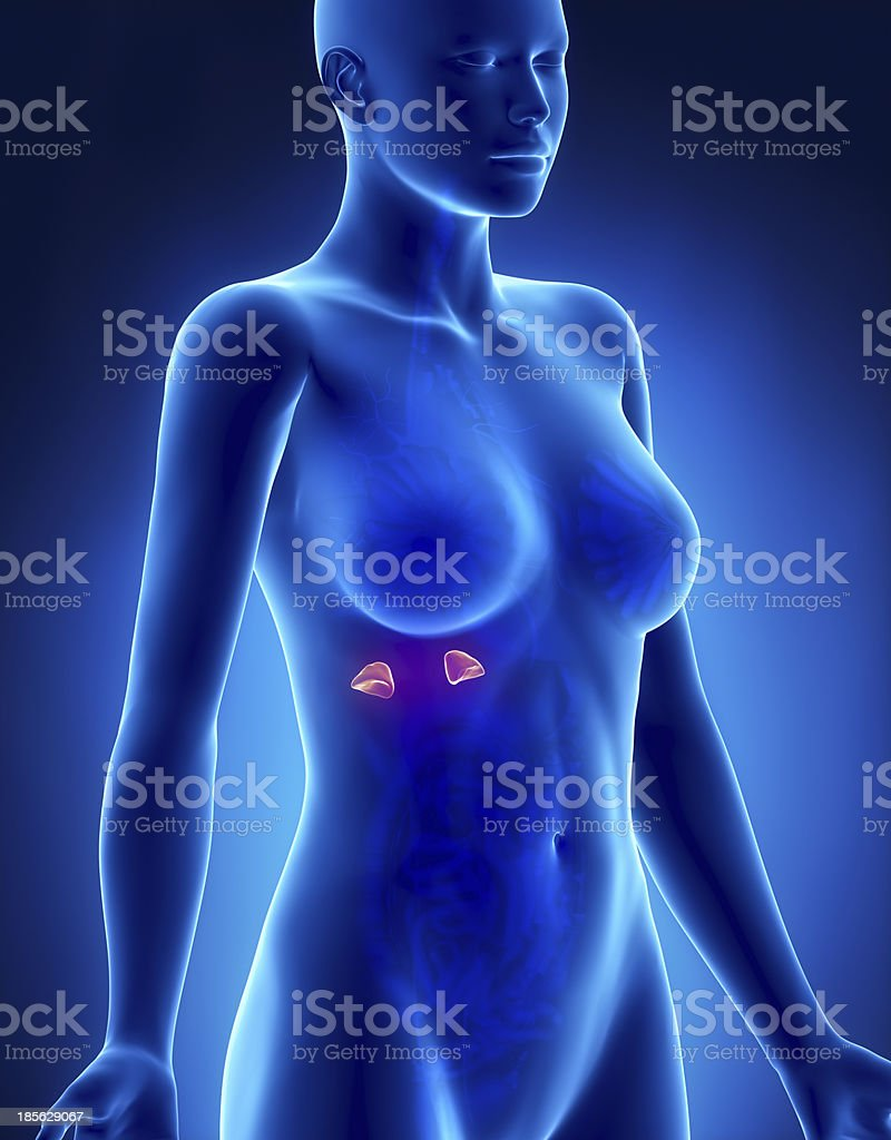 Female ADRENAL anatomy x-ray lateral view royalty-free stock photo