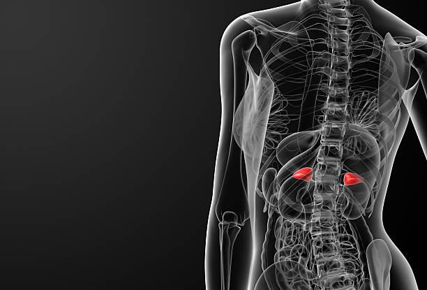 Weibliche adrenal Anatomie x-ray – Foto