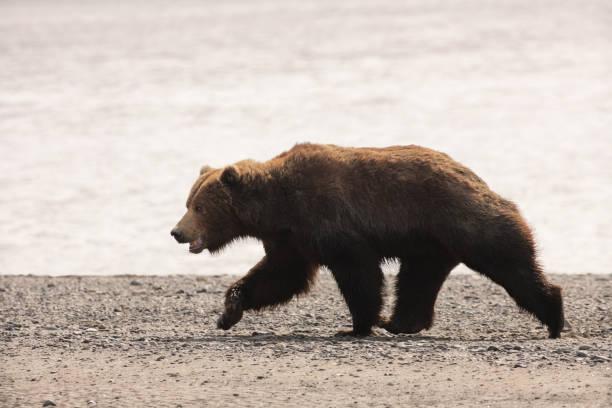 Female Adult Grizzly Bear Ursus arctos horribilis Running stock photo