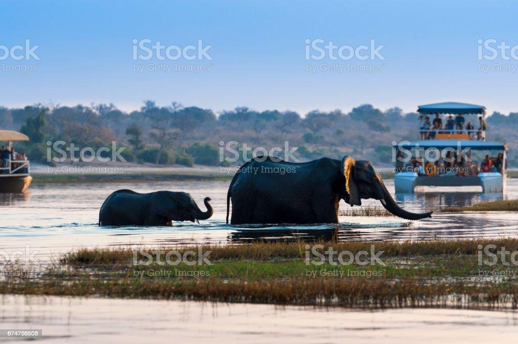 Weiblichen afrikanischen Elefanten und seine Cub Überquerung der Chobe River in den Chobe National Park mit Ausflugsboote auf dem Hintergrund – Foto