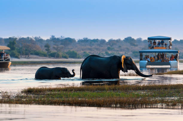 Female African Elephant and its cub crossing the Chobe River in the Chobe National Park with tourist boats on the background stock photo
