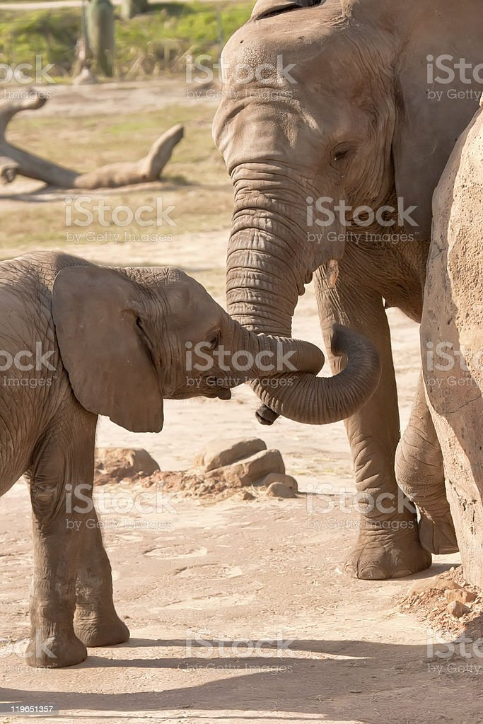 Female African Elephant and Young Cow stock photo