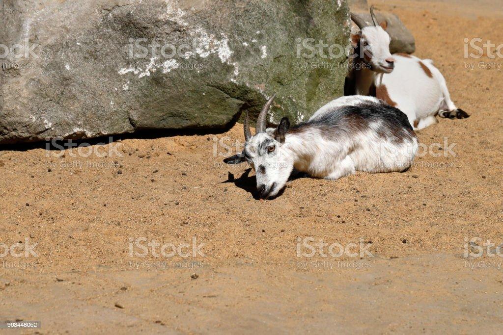 Samice afrykańskich kóz karczmowych - Zbiór zdjęć royalty-free (Bez ludzi)