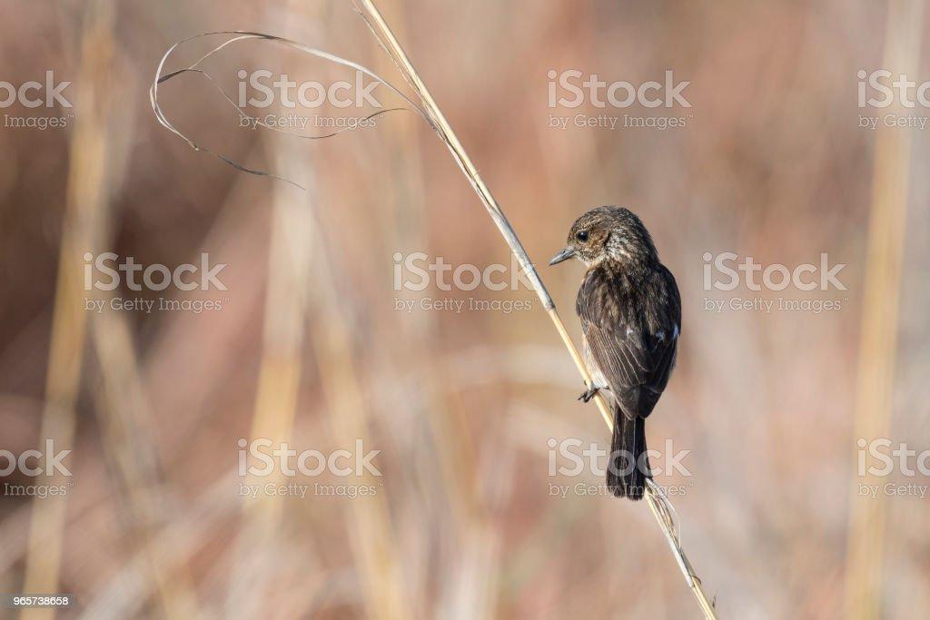 Vrouwelijke roodborsttapuit op gras stengel - Royalty-free Afrika Stockfoto