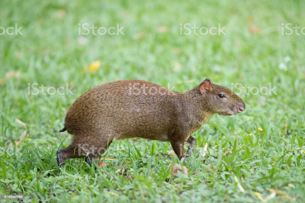 Female Agouti in Grass stock photo