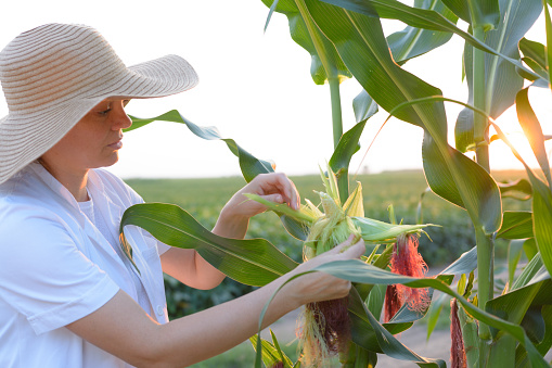 Biotechnology engineer examining plant of corn for disease.