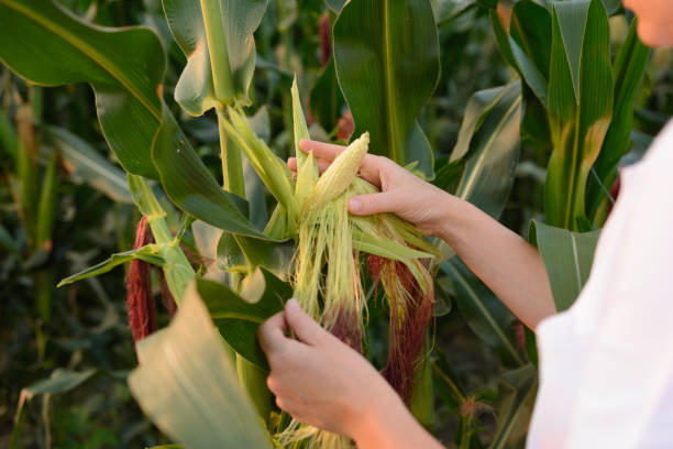 Weibliche Agronomin inspiziert Maiskolben im Maisfeld – Foto