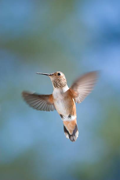 Female Allen's Hummingbird stock photo