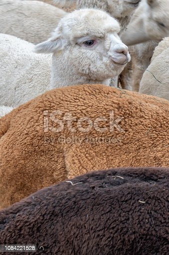 Vertical close up of three colored coats of alpacas on an alpaca farm in Central Oregon