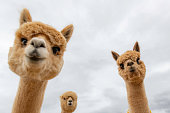 Looking up at funny shot of  close up heads of alpacas