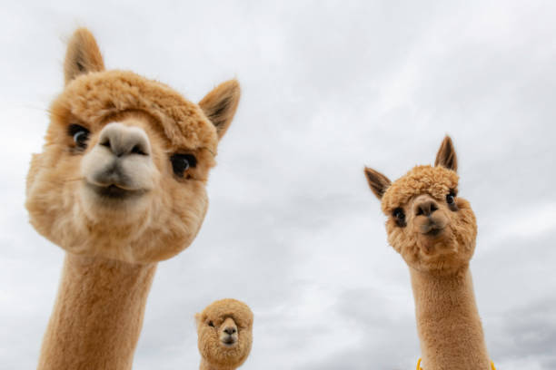 Female alpacas on a farm in Central Oregon Looking up at funny shot of  close up heads of alpacas amusing stock pictures, royalty-free photos & images