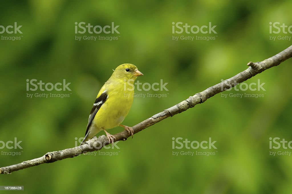 Female American Goldfinch (Carduelis tristis) royalty-free stock photo