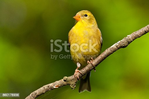 The American Goldfinch (Carduelis Tristis) is the state bird of Washington, Iowa and New Jersey. It is a fairly common summer resident to the Pacific Northwest, migrating to the southern USA and Mexico in the winter. This female, perched on a branch, was photographed in Edgewood, Washington State, USA.